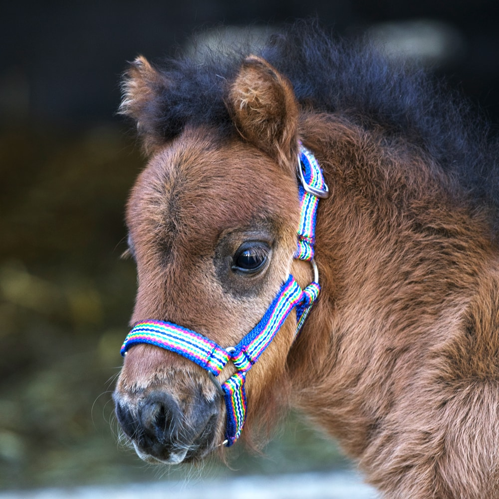 Mini foal halter   Fairfield®